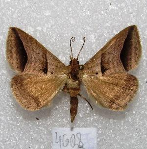 "(Perasia sp. PL1 - MACN-Bar-Lep-ct 04608)  @14 [ ] Copyright (2013) MACN Museo Argentino de Ciencias Naturales ""Bernardino Rivadavia"""