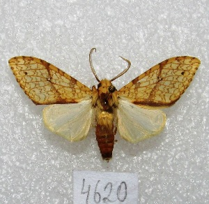 "(Lophocampa niveigutta - MACN-Bar-Lep-ct 04620)  @14 [ ] Copyright (2013) MACN Museo Argentino de Ciencias Naturales ""Bernardino Rivadavia"""
