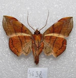 "(Argidia wedelina - MACN-Bar-Lep-ct 04638)  @14 [ ] Copyright (2013) MACN Museo Argentino de Ciencias Naturales ""Bernardino Rivadavia"""