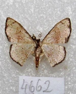 "(Ptychamalia - MACN-Bar-Lep-ct 04662)  @14 [ ] Copyright (2013) MACN Museo Argentino de Ciencias Naturales ""Bernardino Rivadavia"""