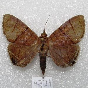 "(Dyomyx inferior - MACN-Bar-Lep-ct 04724)  @14 [ ] Copyright (2013) MACN Museo Argentino de Ciencias Naturales ""Bernardino Rivadavia"""