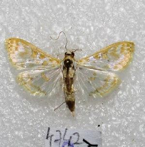"""(Leucochroma sp1 - MACN-Bar-Lep-ct 04742)  @14 [ ] Copyright (2013) MACN Museo Argentino de Ciencias Naturales """"Bernardino Rivadavia"""""""