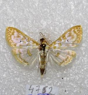"( - MACN-Bar-Lep-ct 04762)  @12 [ ] Copyright (2013) MACN Museo Argentino de Ciencias Naturales ""Bernardino Rivadavia"""