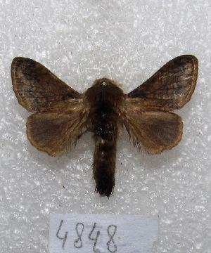"(Tolype nana - MACN-Bar-Lep-ct 04848)  @14 [ ] Copyright (2013) MACN Museo Argentino de Ciencias Naturales ""Bernardino Rivadavia"""