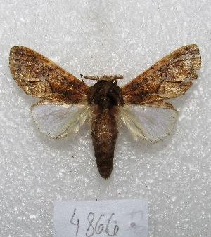 "(Heterocampa daona - MACN-Bar-Lep-ct 04866)  @14 [ ] Copyright (2013) MACN Museo Argentino de Ciencias Naturales ""Bernardino Rivadavia"""