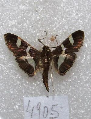 """(Desmia sp - MACN-Bar-Lep-ct 04905)  @14 [ ] Copyright (2013) MACN Museo Argentino de Ciencias Naturales """"Bernardino Rivadavia"""""""