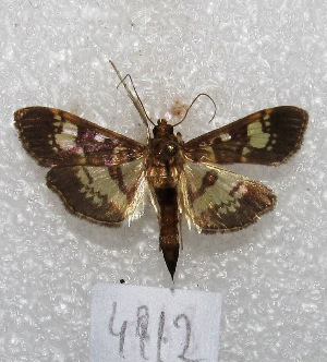 "(Ategumia lotanalis - MACN-Bar-Lep-ct 04912)  @14 [ ] Copyright (2013) MACN Museo Argentino de Ciencias Naturales ""Bernardino Rivadavia"""
