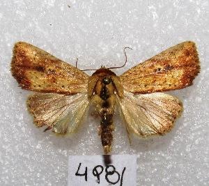 """(Condica sp - MACN-Bar-Lep-ct 04981)  @14 [ ] Copyright (2013) MACN Museo Argentino de Ciencias Naturales """"Bernardino Rivadavia"""""""