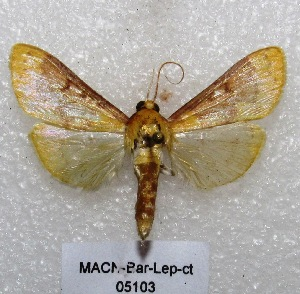 "( - MACN-Bar-Lep-ct 05103)  @13 [ ] Copyright (2013) MACN Museo Argentino de Ciencias Naturales ""Bernardino Rivadavia"""