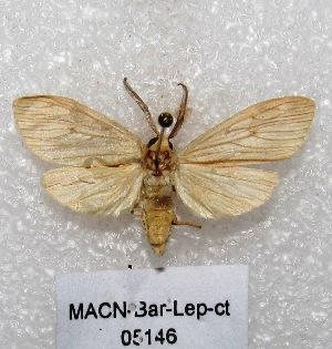 "(Biturix sp - MACN-Bar-Lep-ct 05146)  @13 [ ] Copyright (2013) MACN Museo Argentino de Ciencias Naturales ""Bernardino Rivadavia"""