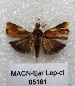 """(Spragueia sp. PL1 - MACN-Bar-Lep-ct 05161)  @13 [ ] Copyright (2013) MACN Museo Argentino de Ciencias Naturales """"Bernardino Rivadavia"""""""