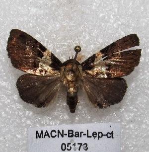 "( - MACN-Bar-Lep-ct 05173)  @13 [ ] Copyright (2013) MACN Museo Argentino de Ciencias Naturales ""Bernardino Rivadavia"""