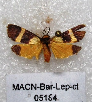 "(Cisthene blanda - MACN-Bar-Lep-ct 05184)  @13 [ ] Copyright (2013) MACN Museo Argentino de Ciencias Naturales ""Bernardino Rivadavia"""