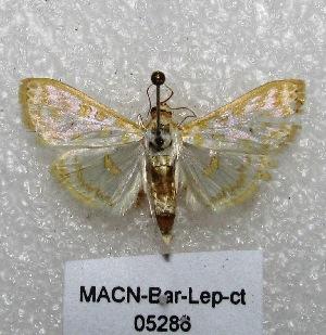 "( - MACN-Bar-Lep-ct 05286)  @14 [ ] Copyright (2013) MACN Museo Argentino de Ciencias Naturales ""Bernardino Rivadavia"""