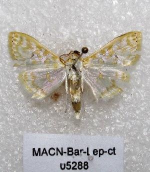 "( - MACN-Bar-Lep-ct 05288)  @13 [ ] Copyright (2013) MACN Museo Argentino de Ciencias Naturales ""Bernardino Rivadavia"""