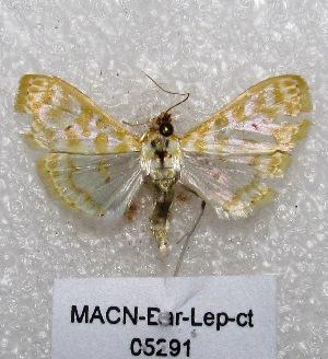 "( - MACN-Bar-Lep-ct 05291)  @13 [ ] Copyright (2013) MACN Museo Argentino de Ciencias Naturales ""Bernardino Rivadavia"""