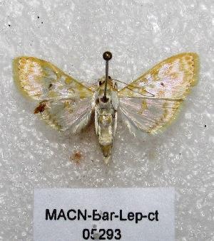 "( - MACN-Bar-Lep-ct 05293)  @11 [ ] Copyright (2013) MACN Museo Argentino de Ciencias Naturales ""Bernardino Rivadavia"""