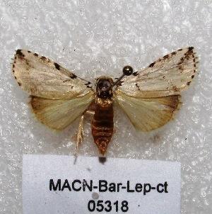 "(Ensipia sp - MACN-Bar-Lep-ct 05318)  @14 [ ] Copyright (2013) MACN Museo Argentino de Ciencias Naturales ""Bernardino Rivadavia"""
