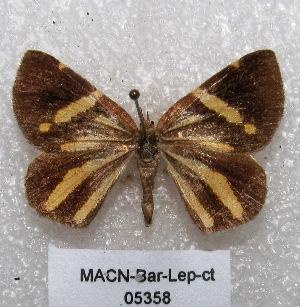 "(Scordylia - MACN-Bar-Lep-ct 05358)  @14 [ ] Copyright (2013) MACN Museo Argentino de Ciencias Naturales ""Bernardino Rivadavia"""