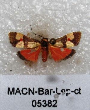 "(Nodozana coresa - MACN-Bar-Lep-ct 05382)  @13 [ ] Copyright (2013) MACN Museo Argentino de Ciencias Naturales ""Bernardino Rivadavia"""