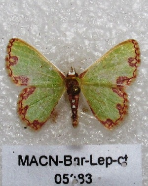 "( - MACN-Bar-Lep-ct 05383)  @14 [ ] Copyright (2013) MACN Museo Argentino de Ciencias Naturales ""Bernardino Rivadavia"""