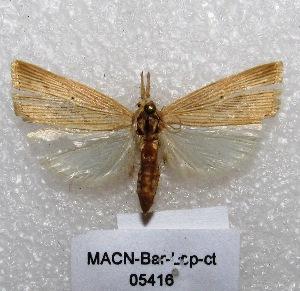 "( - MACN-Bar-Lep-ct 05416)  @12 [ ] Copyright (2013) MACN Museo Argentino de Ciencias Naturales ""Bernardino Rivadavia"""