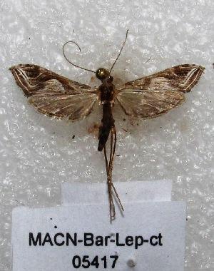 "( - MACN-Bar-Lep-ct 05417)  @13 [ ] Copyright (2013) MACN Museo Argentino de Ciencias Naturales ""Bernardino Rivadavia"""