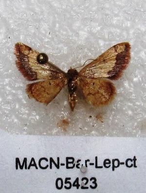 "( - MACN-Bar-Lep-ct 05423)  @13 [ ] Copyright (2013) MACN Museo Argentino de Ciencias Naturales ""Bernardino Rivadavia"""