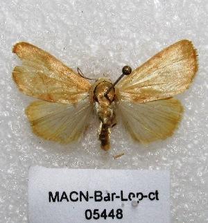 "(Bagisara sp. PL1 - MACN-Bar-Lep-ct 05448)  @14 [ ] Copyright (2013) MACN Museo Argentino de Ciencias Naturales ""Bernardino Rivadavia"""