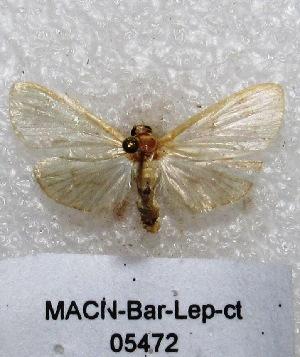 "(Salbia sp. PL1 - MACN-Bar-Lep-ct 05472)  @13 [ ] Copyright (2013) MACN Museo Argentino de Ciencias Naturales ""Bernardino Rivadavia"""