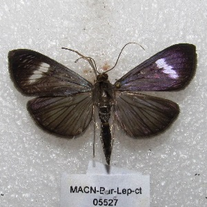 "( - MACN-Bar-Lep-ct 05527)  @14 [ ] Copyright (2013) MACN Museo Argentino de Ciencias Naturales ""Bernardino Rivadavia"""