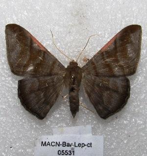 "( - MACN-Bar-Lep-ct 05531)  @15 [ ] Copyright (2013) MACN Museo Argentino de Ciencias Naturales ""Bernardino Rivadavia"""