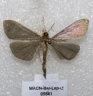 "( - MACN-Bar-Lep-ct 05541)  @11 [ ] Copyright (2013) MACN Museo Argentino de Ciencias Naturales ""Bernardino Rivadavia"""