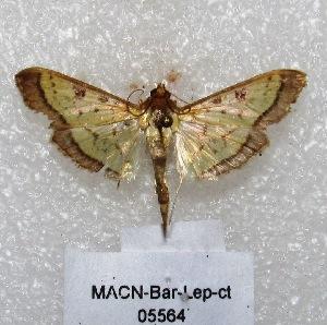 "(Syllepte sp. PL1 - MACN-Bar-Lep-ct 05564)  @13 [ ] Copyright (2013) MACN Museo Argentino de Ciencias Naturales ""Bernardino Rivadavia"""