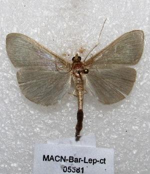 "( - MACN-Bar-Lep-ct 05581)  @13 [ ] Copyright (2013) MACN Museo Argentino de Ciencias Naturales ""Bernardino Rivadavia"""