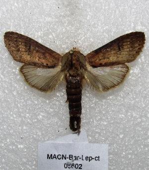 "( - MACN-Bar-Lep-ct 05602)  @12 [ ] Copyright (2013) MACN Museo Argentino de Ciencias Naturales ""Bernardino Rivadavia"""