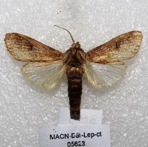 "( - MACN-Bar-Lep-ct 05623)  @13 [ ] Copyright (2013) MACN Museo Argentino de Ciencias Naturales ""Bernardino Rivadavia"""