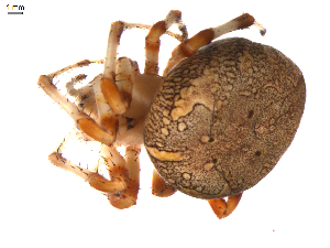 (Araneus marmoreus - BIOUG00614-C05)  @14 [ ] Copyright  G. Blagoev 2010 Unspecified