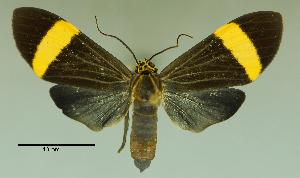 (Epidesma similis - MUSM-ArctVBC23)  @14 [ ] Copyright (2016) Juan Grados Museo de Historia Natural, UNMSM, Lima, Perú
