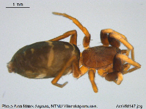 (Gnaphosidae - AraVM147)  @15 [ ] CreativeCommons - Attribution Non-Commercial Share-Alike (2015) NTNU University Museum, Department of Natural History NTNU University Museum, Department of Natural History