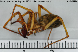(Agelenidae - AraVM186)  @15 [ ] CreativeCommons - Attribution Non-Commercial Share-Alike (2015) NTNU University Museum, Department of Natural History NTNU University Museum, Department of Natural History