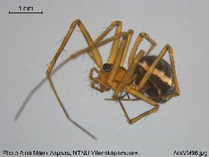 (Abiskoa - AraVM96)  @11 [ ] CreativeCommons - Attribution Non-Commercial Share-Alike (2015) NTNU University Museum, Department of Natural History NTNU University Museum, Department of Natural History