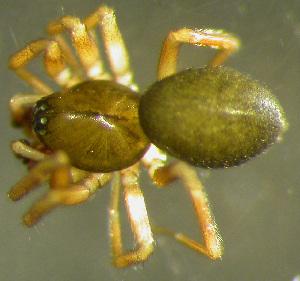 (Semljicola - TRD-ARA106)  @15 [ ] CreativeCommons - Attribution Non-Commercial Share-Alike (2014) Arne Fjellberg Arne Fjellberg Entomological Research