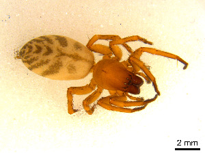 (Clubionidae - BIOUG01027-E09)  @15 [ ] CreativeCommons - Attribution Non-Commercial Share-Alike (2015) M. Alex Smith Research Collection of M. Alex Smith