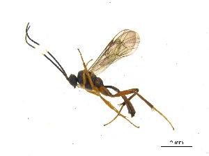 (Oxytorinae - BIOUG06753-C02)  @14 [ ] CreativeCommons - Attribution Non-Commercial Share-Alike (2013) M. Alex Smith Centre for Biodiversity Genomics