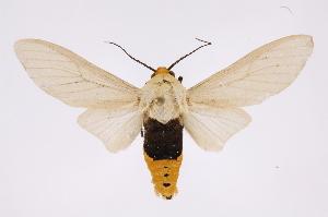 (Selenarctia - INB0003871501)  @15 [ ] Copyright (2012) B. Espinoza Instituto Nacional de Biodiversidad