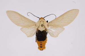 (Selenarctia - INB0004222410)  @15 [ ] Copyright (2012) B. Espinoza Instituto Nacional de Biodiversidad