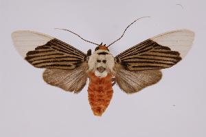 (Ischnognatha - INB0004222502)  @15 [ ] Copyright (2012) B. Espinoza Instituto Nacional de Biodiversidad