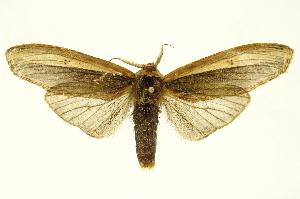 (Dicranurinae - INB0003044924)  @15 [ ] Copyright (2012) Juan Mata Lorenzen Unspecified
