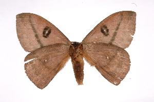 (Automeris postalbidaICHG04 - INB0003055484)  @14 [ ] Copyright (2012) I. Chacon Instituto Nacional de Biodiversidad